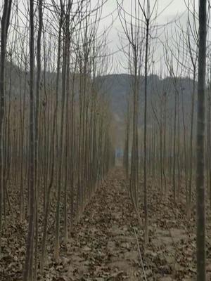河南省周口市淮阳县楸树