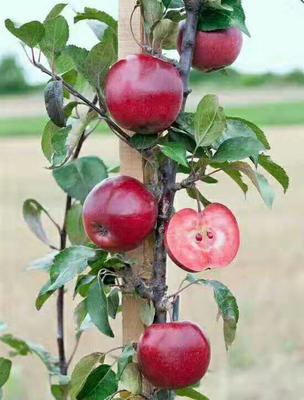 这是一张关于红肉苹果树苗 1~1.5米 的产品图片
