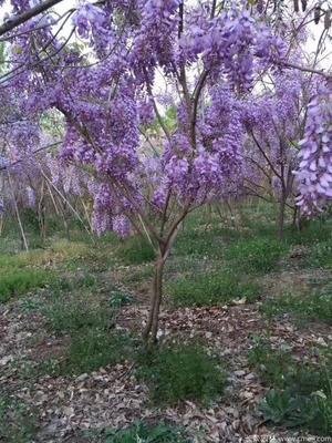 河南省信阳市商城县多花紫藤  1.5~2米 5公分以上 供应地径五至十五公分的紫藤大树