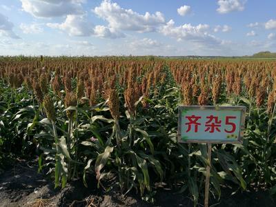 黑龙江省哈尔滨市道里区齐杂5号高粱种子 杂交种 ≥80%