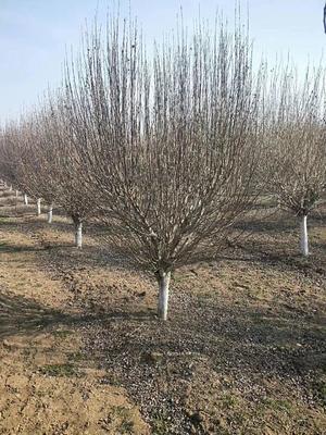 山东省菏泽市郓城县红花木槿