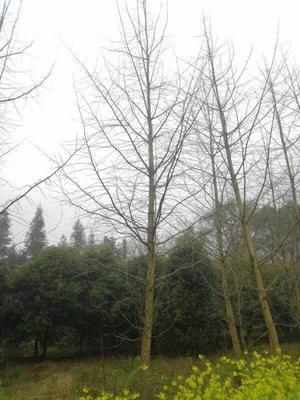 贵州省贵阳市白云区银杏实生树
