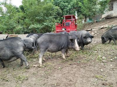 重庆长寿区藏猪 80斤以上