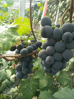 山东省青岛市莱西市巨峰葡萄 0.8-1斤 5%以下 1次果