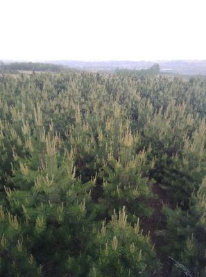 山西省临汾市霍州市大田油松 3米油松