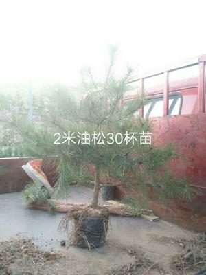 山西省忻州市忻府区大田油松