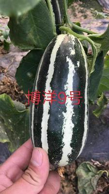 山东省聊城市莘县羊角脆甜瓜  1斤以上 多种规格