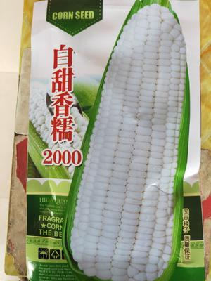 河南省安阳市滑县甜玉米种子 常规种 ≥85%