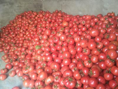 陕西省咸阳市泾阳县大红西红柿  弧二以上 大红 精品 自己家种的普罗旺斯水果西红柿。