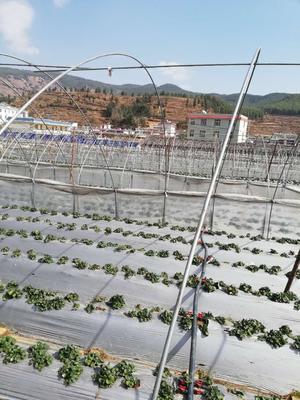 云南省昆明市官渡区蒙特瑞草莓 20克以上