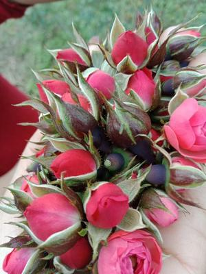 云南省普洱市思茅区金边玫瑰