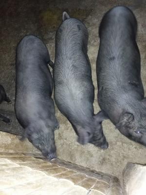 湖南省黑土猪 80斤以上