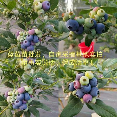 北高从蓝莓苗