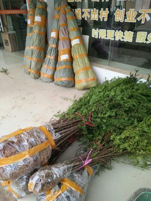 江西省宜春市奉新县南方红豆杉 1~1.5米