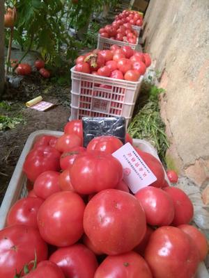 江苏省连云港市赣榆区大红西红柿 精品 弧二以上 硬粉