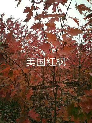 宁夏回族自治区中卫市中宁县美国红枫
