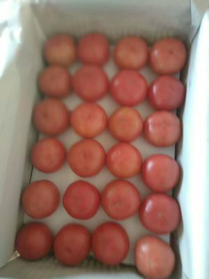 内蒙古自治区赤峰市阿鲁科尔沁旗西贝西红柿 精品 弧三以上 大红