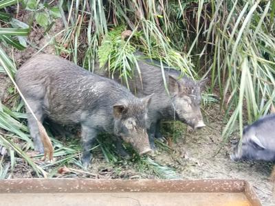 广西壮族自治区河池市金城江区生态土黑毛猪 120斤以上