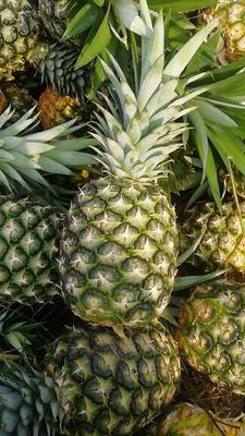 海南省三亚市天涯区金菠萝 2 - 2.5斤