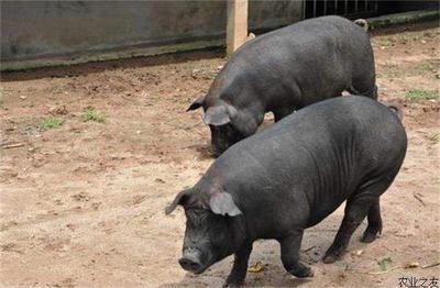 吉林省松原市扶余市东北民猪 200-300斤