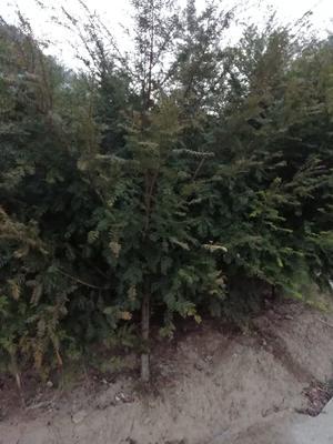 陕西省汉中市留坝县秦岭红豆杉 2.0~2.5米