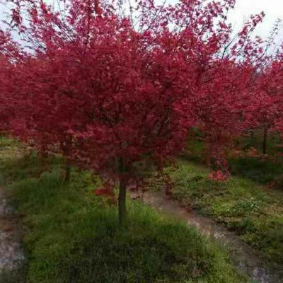 广西壮族自治区桂林市全州县美国红枫