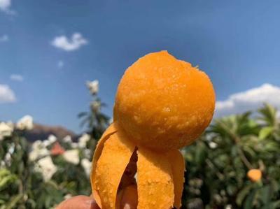 四川省攀枝花市米易县米易枇杷  0.4两以下 一件代发