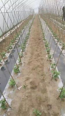 四川省遂宁市船山区紫花四季豆 25cm以上