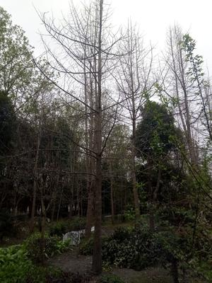 四川省成都市都江堰市银杏实生树