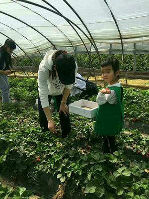 河南省郑州市中牟县奶油草莓 20克以上