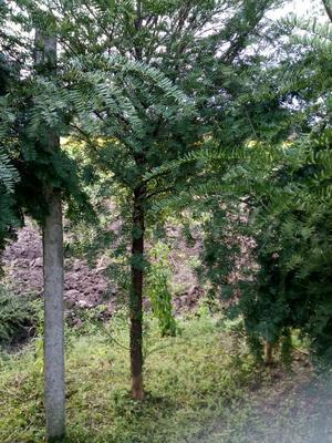 广西壮族自治区桂林市兴安县南方红豆杉 2.0~2.5米