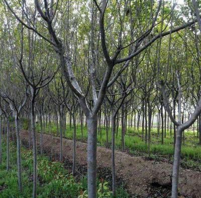 陕西省汉中市城固县中国红樱 1.5~2米 4公分以下