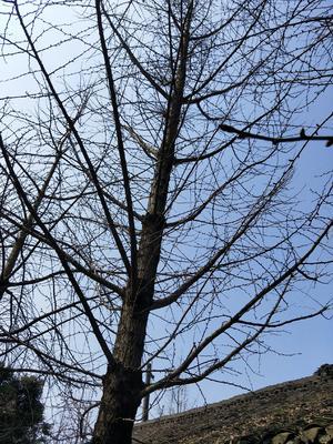 四川省成都市温江区白果树