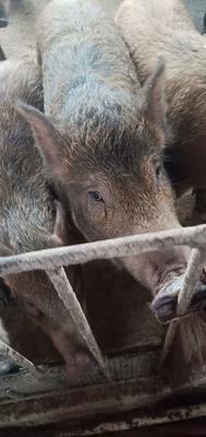 黑龙江省牡丹江市林口县特种野猪 统货 100斤以上