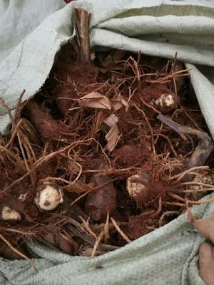 湖南省怀化市会同县芭蕉芋 3cm以上 保健高档米粉原材料