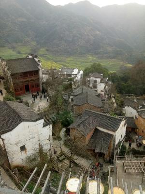 江西省上饶市玉山县芋头种子 1cm以上