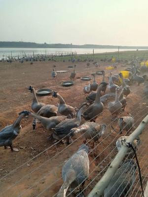 广东省湛江市雷州市狮头鹅 12斤以上 统货 半圈养半散养