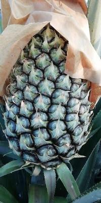 海南省澄迈县澄迈县手撕菠萝 2.5 - 3斤