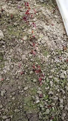 山东省青岛市平度市赤芍 0.5米以下 2cm以下