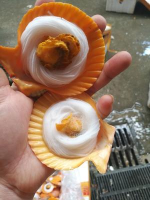 广东省佛山市南海区红扇贝 人工殖养 10-20只/公斤