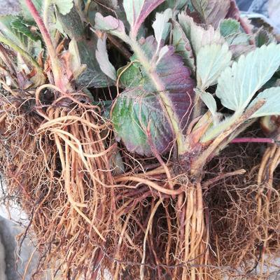 这是一张关于全明星草莓苗 10公分以下 地栽苗 的产品图片