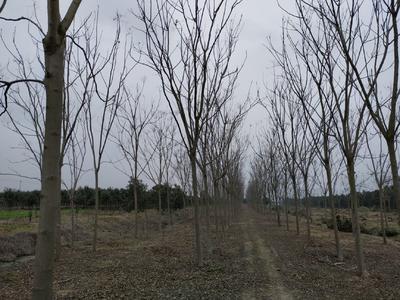 这是一张关于黄山栾树 的产品图片