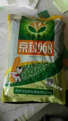 河北省邯郸市涉县京科968玉米种子 常规种 ≥95%