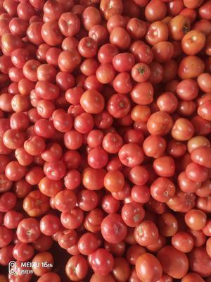 山东省菏泽市定陶县硬粉番茄 通货 弧三以上 硬粉