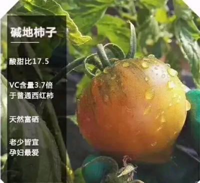 这是一张关于盐碱地西红柿 精品 弧二以上 黛粉 的产品图片
