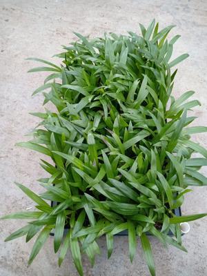 广东省广州市荔湾区散尾葵  筛盆苗10公分左右高