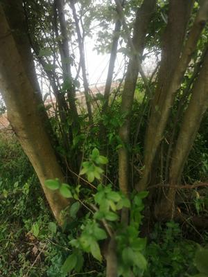 广西壮族自治区贵港市平南县丛生朴树