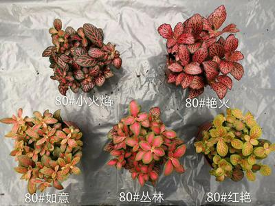 广东省广州市荔湾区火焰海棠