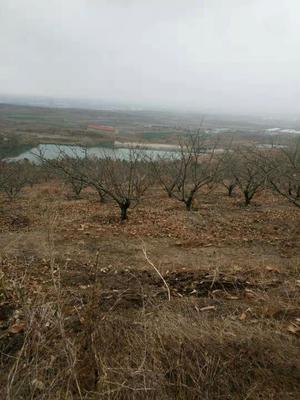 这是一张关于迁西板栗苗  嫁接苗 2.0~2.5米 红光品种 都是树了的产品图片
