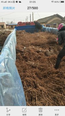 这是一张关于毛桃苗 0.5~1米 的产品图片